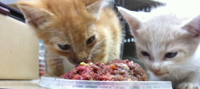 What kind of meals should I feed my cat?